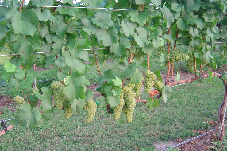 Chardonnay grapevine from Piney Grove Vineyard in Kent County, eastern shore Maryland